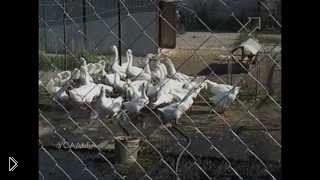 Смотреть онлайн Рентабельное разведение и содержание гусей
