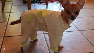Смотреть онлайн Как сшить одежду для собаки породы той терьер