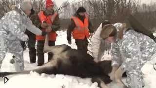 Смотреть онлайн Зимняя загонная охота на снегоходах на лося 2014
