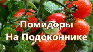 Смотреть онлайн Как выращивать помидоры на подоконнике в горшке