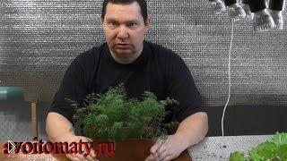 Смотреть онлайн Выращивание укропа на подоконнике зимой