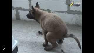 Смотреть онлайн Как приручить щенка крупных пород к туалету