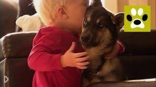 Смотреть онлайн Дрессировка щенка сибирской лайки в домашних условиях