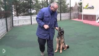 Смотреть онлайн Начальная дрессировка щенка немецкой овчарки