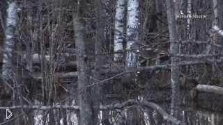 Смотреть онлайн Охота на бобра с ружьем весной