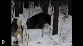 Смотреть онлайн Охота на медведя шатуна в Сибири с лайками 2014