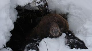 Смотреть онлайн Зимняя охота на медведя в берлоге 2014
