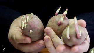 Смотреть онлайн Как правильно подготовить клубни картофеля к посадке