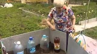 Смотреть онлайн Как лучше правильно посадить огурцы весной в грунт