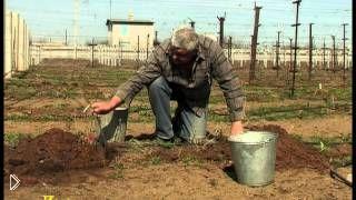 Смотреть онлайн Как посадить виноград весной. Правильный уход и обрезка