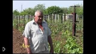 Смотреть онлайн Чем обрабатывать виноград от болезней весной