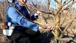 Смотреть онлайн Как правильно обрезать ветки яблони весной