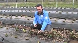 Правильный уход за садовой клубникой ранней весной - Видео онлайн