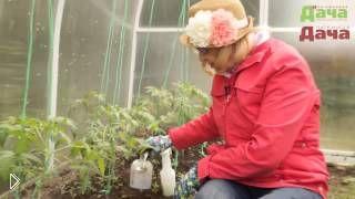 Смотреть онлайн Подкормка рассады помидоров в теплице