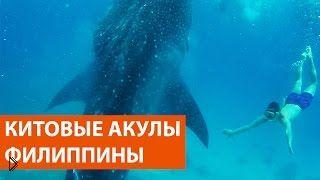 Смотреть онлайн Плавание с китовыми акулами на Филиппинах, остров Себу