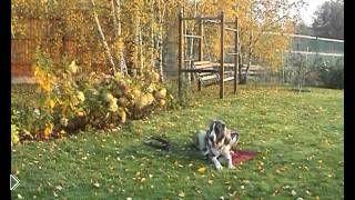 Смотреть онлайн Дрессировка собаки алабай в домашних условиях