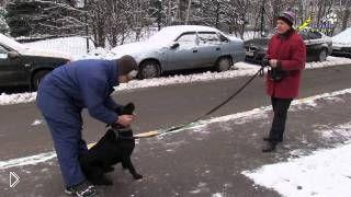 Смотреть онлайн Урок самостоятельной дрессировки собаки лабрадора