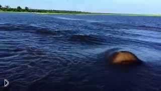 Смотреть онлайн Гиппопотам с огромной скоростью плывет за лодкой
