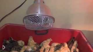 Смотреть онлайн Обогрев цыплят лампой в домашних условиях