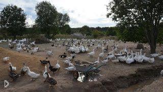 Смотреть онлайн Какой должна быть площадка для выгула домашней птицы