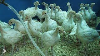 Смотреть онлайн Условия содержания индюшат: поилки для птенцов