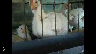 Смотреть онлайн Как проводить уборку в клетке у цыплят бройлеров