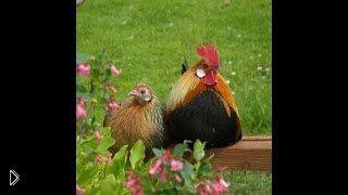 Смотреть онлайн Распространенные ошибки начинающего птицевода