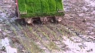 Смотреть онлайн Как сажают рис в Китае