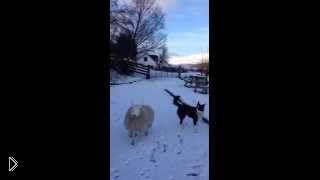 Смотреть онлайн Осиротевшая овца ведет себя как собака