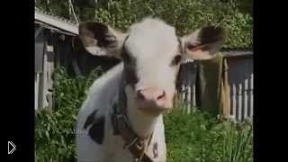 Смотреть онлайн Условия содержания коров в личном хозяйстве