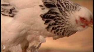 Смотреть онлайн Как правильно выбрать курицу несушку
