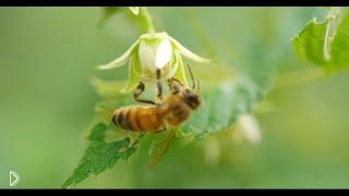 Как люди собирают пчелиный мед, качество 4К - Видео онлайн