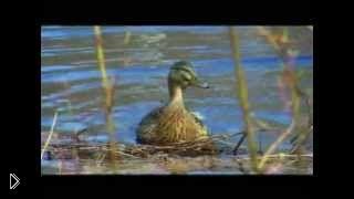 Смотреть онлайн Правила удачной охоты на утку весной с подсадной