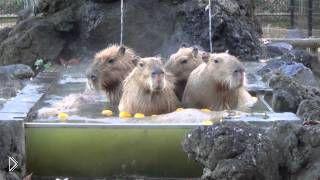 Смотреть онлайн Огромные капибары принимают ванну