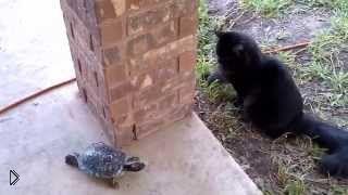 Смотреть онлайн Черепаха играет в догонялки с котом