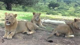 Смотреть онлайн На экскурсии лев чуть не напал на людей