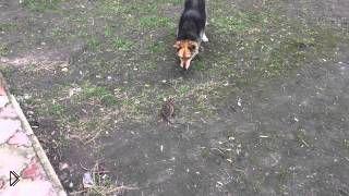 Смотреть онлайн Ожесточенная борьба собаки против крысы