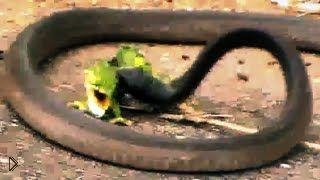 Смотреть онлайн Жестокая драка на смерть змеи и хамелеона