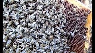 Смотреть онлайн Как пчеловодам отыскать пчелиную матку в улье