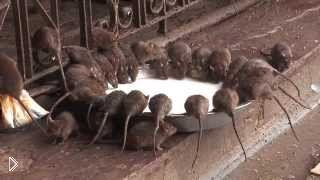 Смотреть онлайн Реальный индийский храм крыс