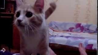 Смотреть онлайн Игривый кот приносит мяч как собака