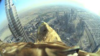 Смотреть онлайн Ручной орел летает с камерой над Дубаи