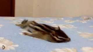 Смотреть онлайн Утренняя растяжка милого бурундука