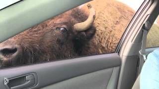 Смотреть онлайн Бизон залез в машину к туристам за лакомством