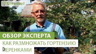 Смотреть онлайн Уход и размножение черенками садовой гортензии