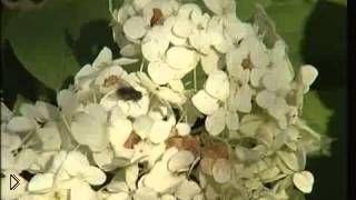 Смотреть онлайн Выращивание и уход за садовой гортензией