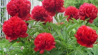 Смотреть онлайн Уход и выращивание за цветками пионами