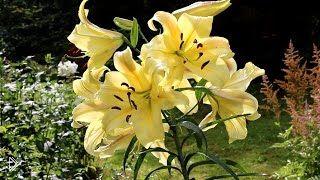 Смотреть онлайн Как правильно пересадить лилии в грунт