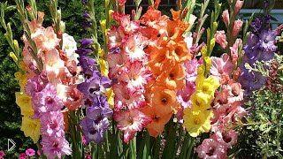 Смотреть онлайн Цветок гладиолус: посадка, уход и выращивание