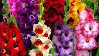 Смотреть онлайн Как правильно выбирать для посадки луковицы цветов